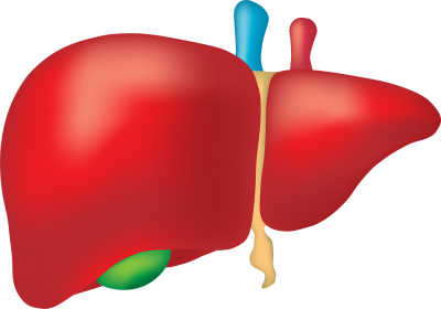drawing of a liver