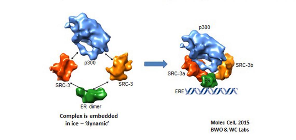 Structure of the Estrogen Receptor (ER)-SRC3-p300 Complex on DNA