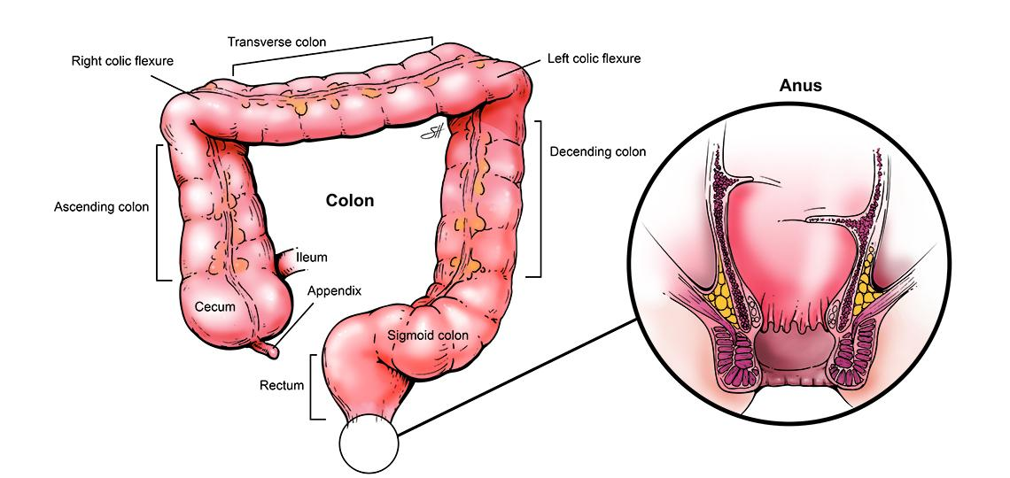 Illustration of human colon anatomy