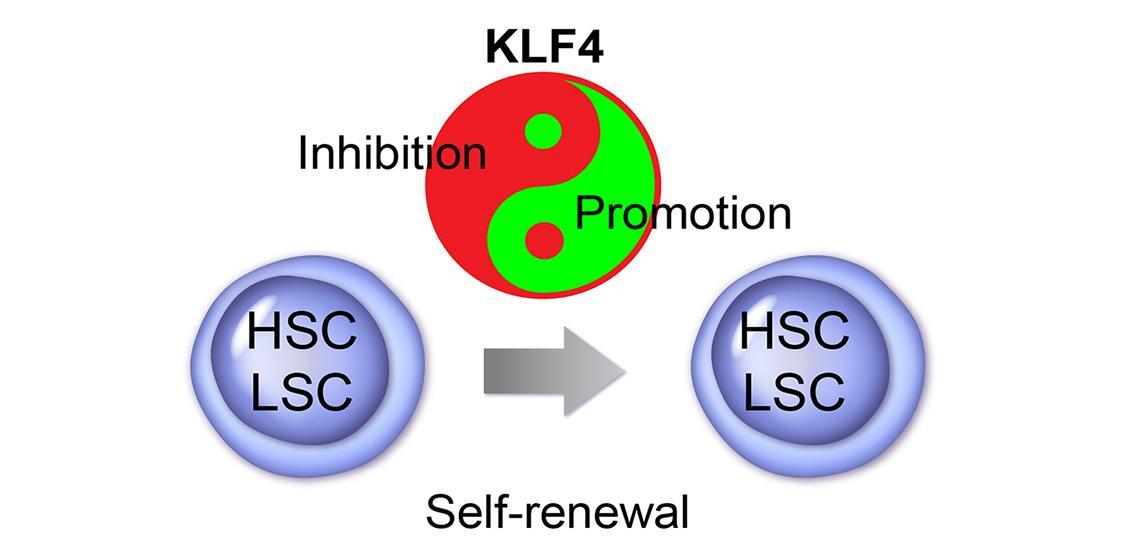 Genetic Regulation of Hematopoietic Stem Cells