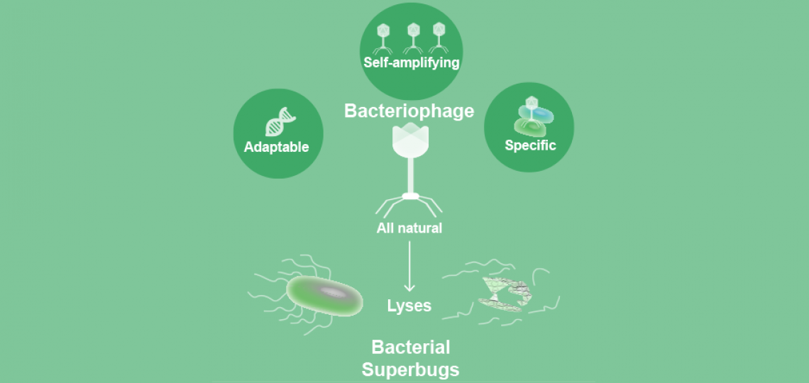 Bacteriophages can potentially be used to combat antibiotic-resistant bacterial infections.