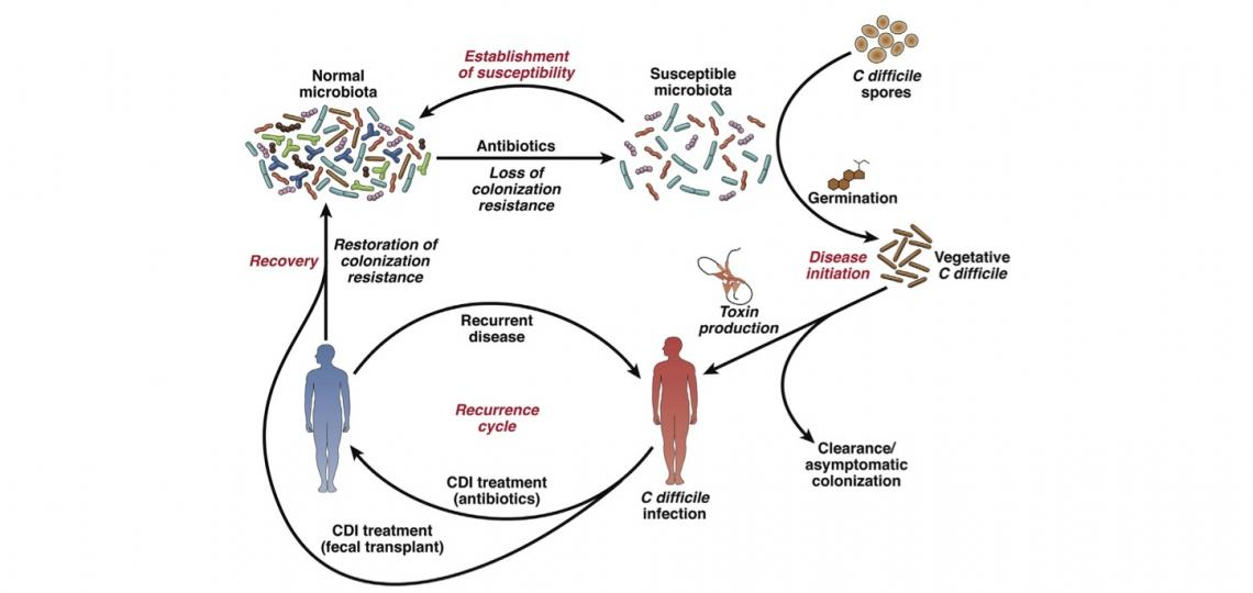 Cycle of Clostridium difficile infection in humans