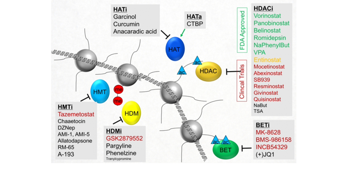 Illustration of histone proteoform dynamics in response to epigenetic inhibitors