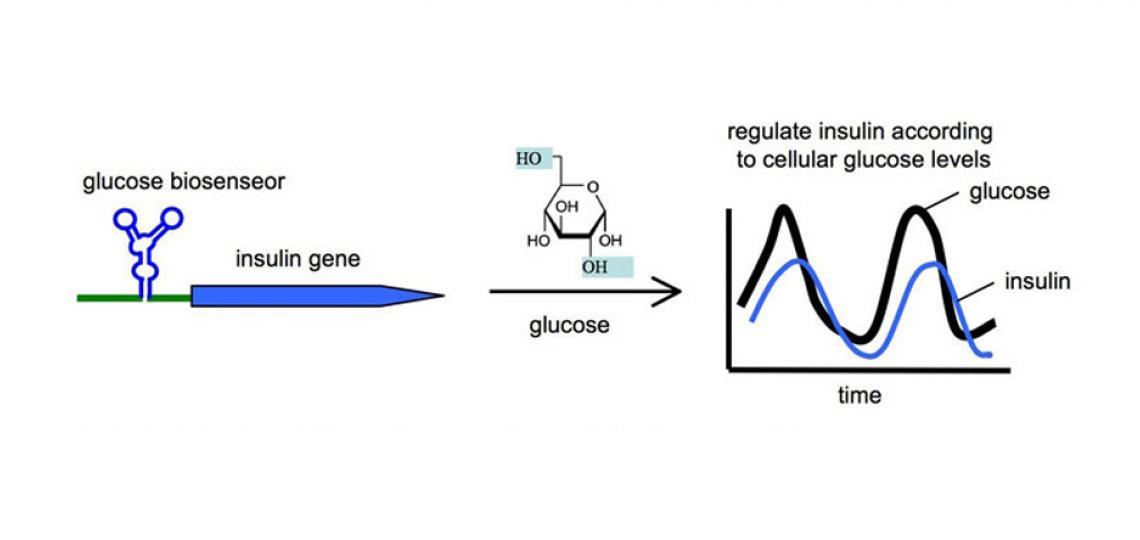 Fig 2. An RNA-based glucose biosensor for regulating insulin production