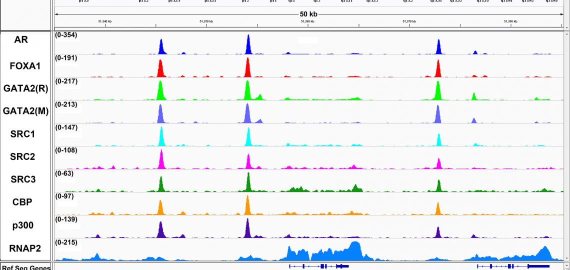 Representative ChIP-Seq results from the KLK3/KLK2 gene locus, demonstrating that GATA2 co-localizes on chromatin with AR, FOXA1, SRC1, SRC2 and SRC3, CBP, p300 and RNA Polymerase 2 (RNAP2). We used two antibodies against GATA2