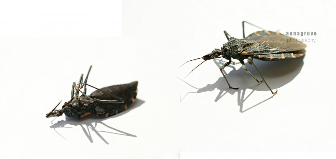 kissing bug closeups