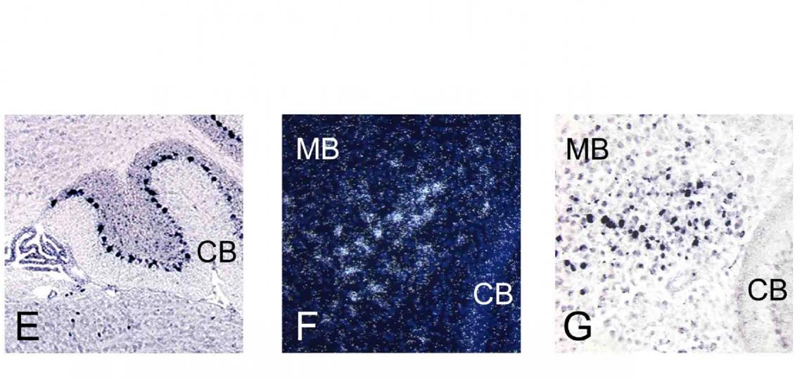 RNA In Situ Hybridization Core