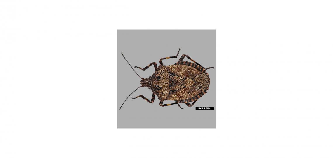 Rough stink bug aka Brochymena quadripustulata