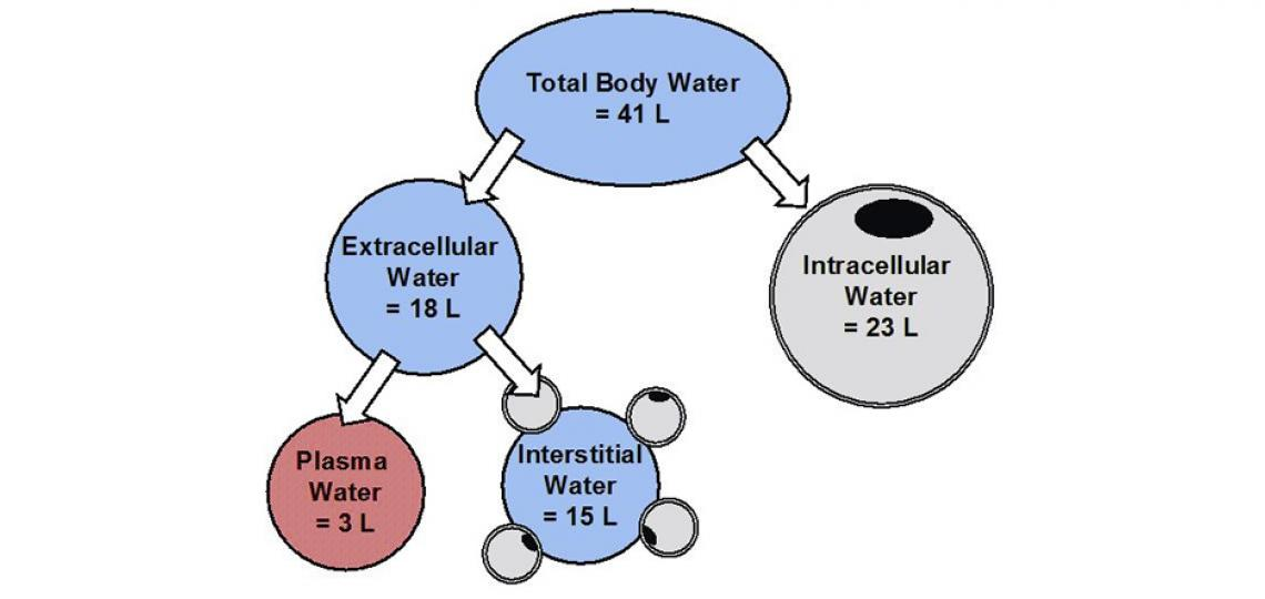 Approximate breakdown of water (75 kg of body weight)