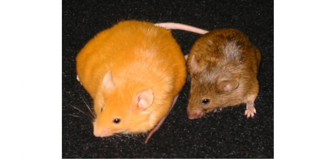 waterland-agouti-mice