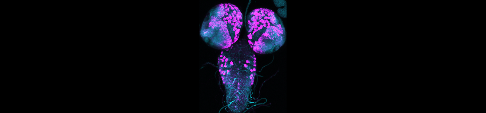 Whole mount of a 3rd instar fruit fly larval brain showing developing brain structures. The sample is immunostained with antibodies to HA-tagged proteins (magenta) and elav (cyan), a neuronal marker.