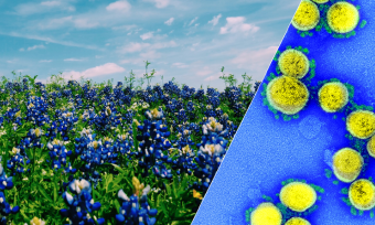 A field of bluebonnets juxtaposed with a transmission electron micrograph of SARS-CoV-2 virus particles.