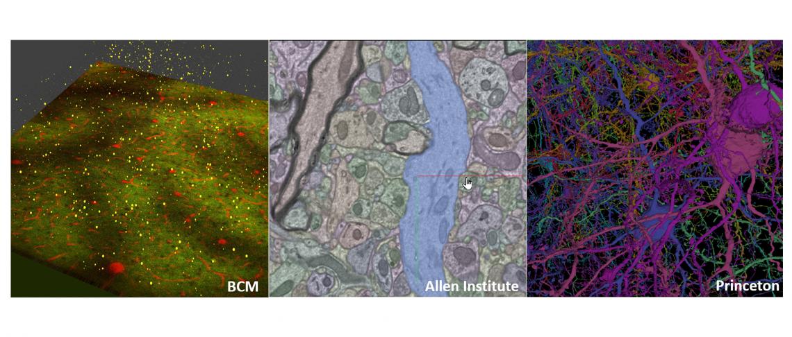 Mammalian brain circuitry