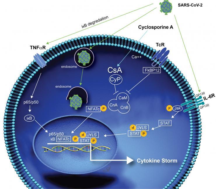 Cyclosporine COVID pathway