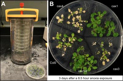 Plant Anoxia Tolerance
