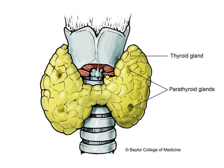parathyroid illustration
