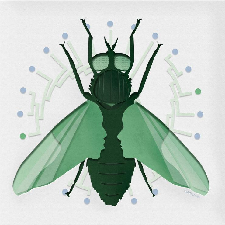 This work stemmed from a discussion of an optical illusion that was create in the Hoencamp et al. manuscript where, by disrupting condensin II protein, researchers create human cells that resemble those of a fruit fly