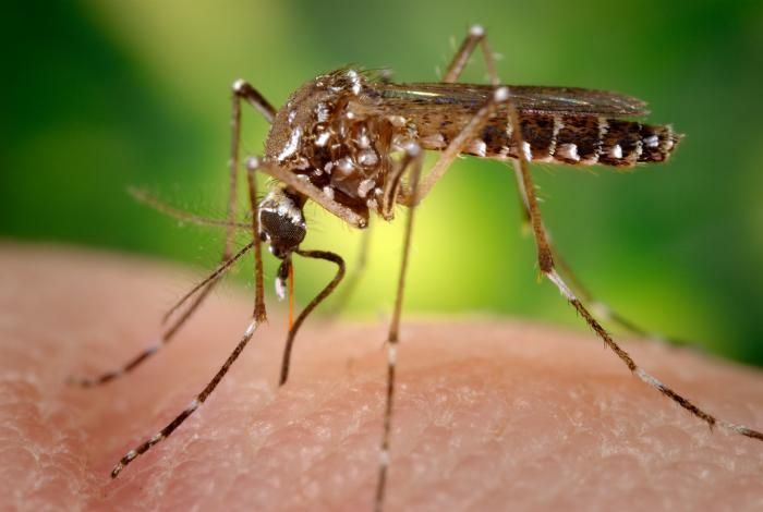 Image of a female Aedes aegypti mosquito, the primary carrier of Zika virus disease and other viral diseases