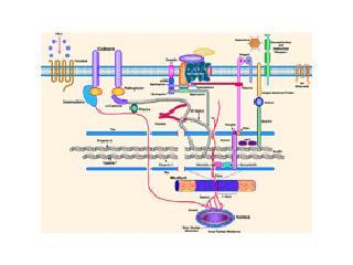 Cytoskeleton of the cardiomyocyte