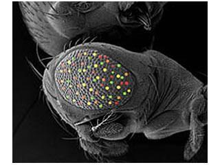 Microscopic image of fruit fly drosophila melanogaster