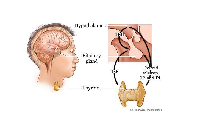 Thyroid Hormone Production