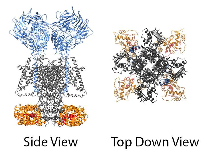 Figure 2: Structural modeling of auxiliary subunit interactions with potassium channels.