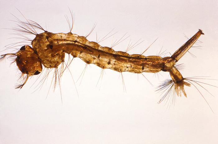 Enlarged view of the larval stage of the Culex quinquefasciatus mosquito, one of the carriers of West Nile virus