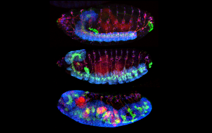 Wild-type Drosophila a. (top) and human TM2D3 (middle) genomic constructs rescue the aberrant nervous system overgrowth seen in embryos laid by mutant females (bottom, no rescue construct). Blue: nuclei, Green: membranes, Red: cytoskeleton.