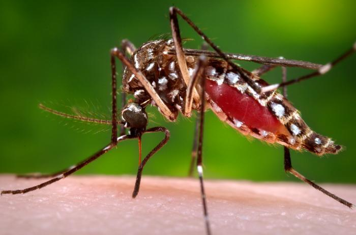 A female Aedes aegypti mosquito in the process of acquiring a blood meal from a human host.