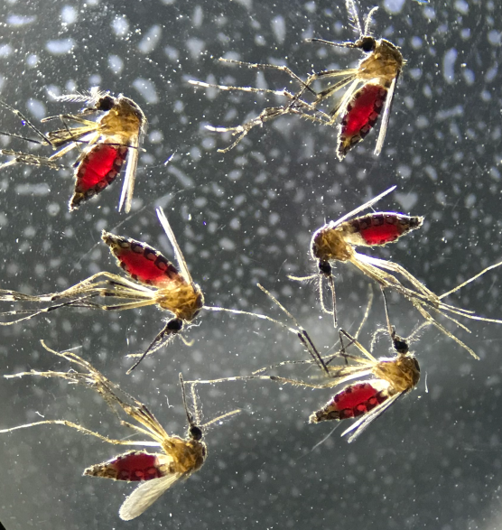 Aedes aegypti mosquitoes after a blood meal