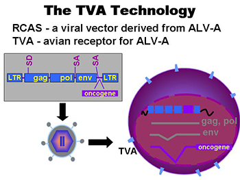 TVA Gene Delivery System