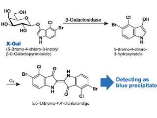 X-Gal hydrolysis with B-Galactosidase