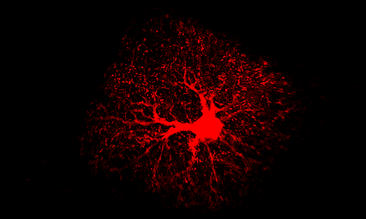 An image of an astrocyte of the adult mouse brain labeled with tdTomato red fluorescent protein.