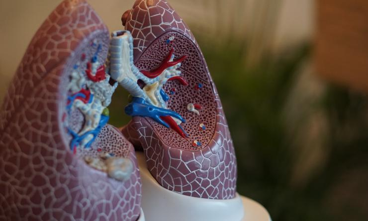 A partial cross-cut model of human lungs.