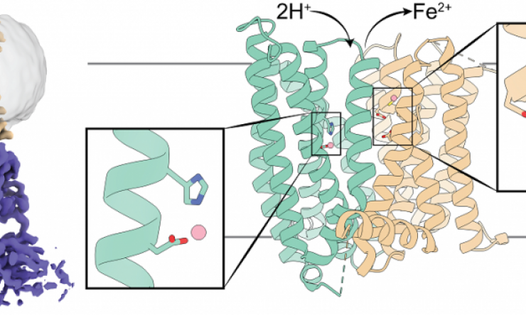 3D structure of a mammalian ferroportin