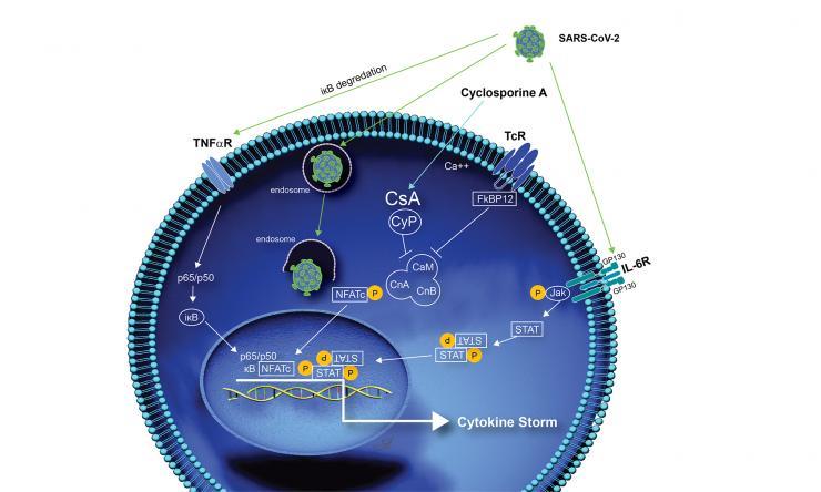 CsA and CIVID-19 cellular pathways.
