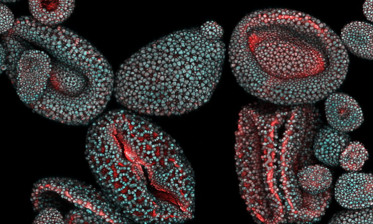 Autofluorescence of pollen from Lilium orientalis 'Stargazer.' Blue and red colors come from distinct spectral ranges.