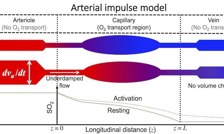 Arterial Impulse Model
