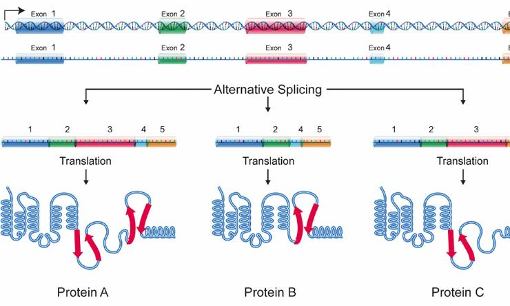 Alternative splicing allows cells to make many different proteins with a limited number of genes.