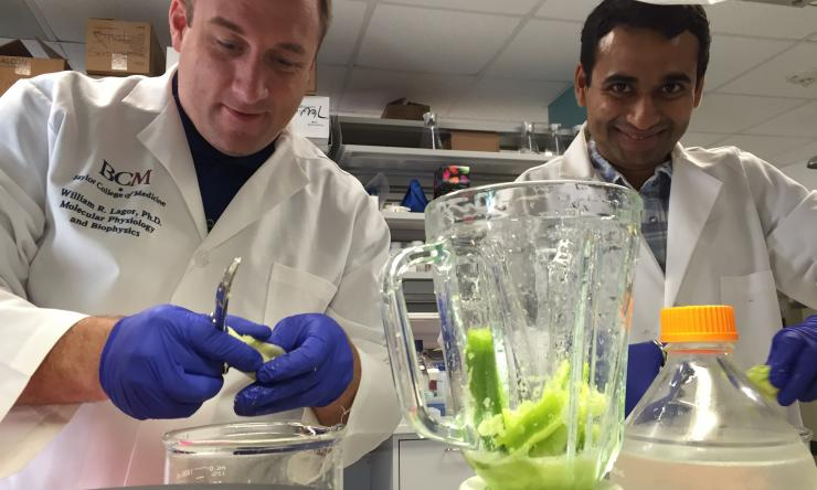 Dr. Lagor and Rajat Gupta purify the Cel-I nuclease from celery for genome editing assays.