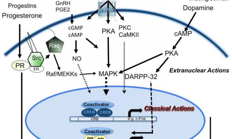 Progesterone signaling mechanisms in brain and behavior