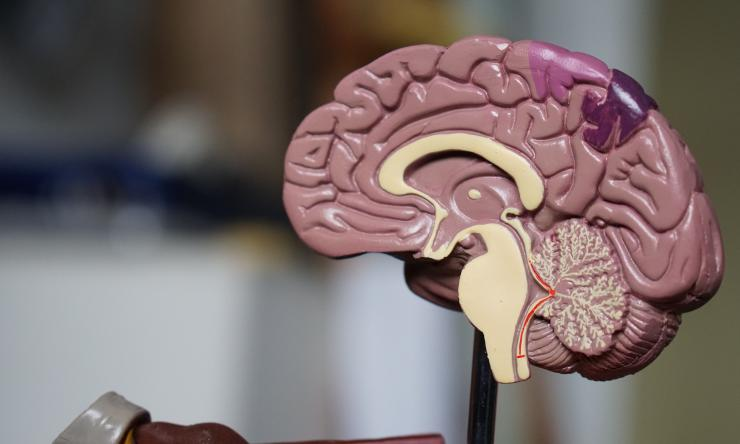 Researchers find regulator for brain injury's first responders