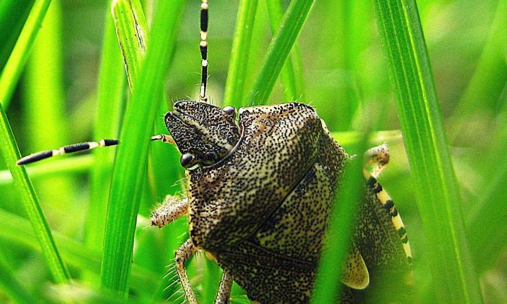 Stink bug, public domain from Pixabay